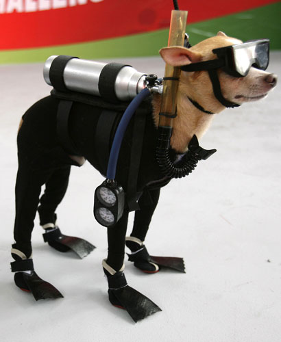 Scuba Diving Chihuahua