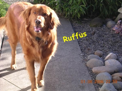 Ruffus is a 4 year old Golden Retriever who lives in Napa, CA!