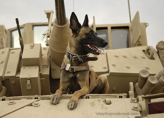 belgian malinois dog army